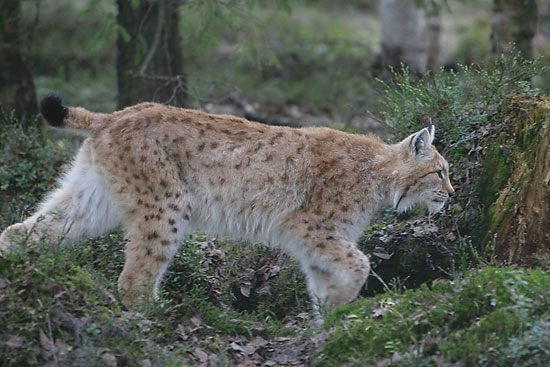 A lynx walking in the forest.