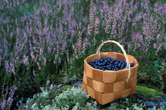 A basket full of bilberries on a cliff surrounded by heathers.