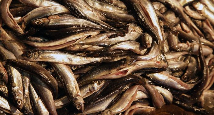 "The tiny ""muikku,"" known as vendace in English, can be fried to form a snack or a meal."