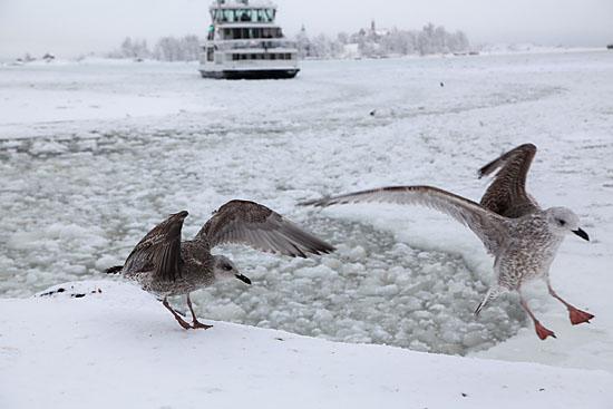 Pêche en eaux glacées : les mouettes de la Place du marché savent exploiter au mieux les glaces brisées par le ferry du Suomenlinna. Photo: Tim Bird