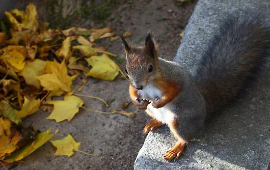 Régime grossissant : cet écureuil recherche de la nourriture pour préparer l'hiver. Photo: Tim Bird