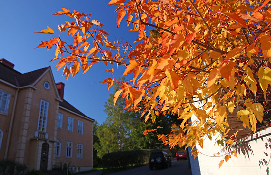 Leaves turn a fiery hue of orange, outdoing the building across the street. Photo: Tim Bird