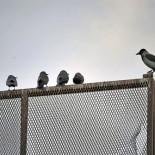 Ворона-учитель в школе галок.  «Эта ворона (справа) читает лекцию галкам — своим менее крупным родственницам, — говорит Вуолиёки. — Обучает их вороньим премудростям».