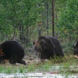 Медвежья охота. Снято на другом конце страны, недалеко от границы с Россией.