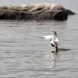 Крачка-цветок. Это одна из фотографий серии, в которой поэтапно заснято, как крачка пикирует вниз и выхватывает из воды рыбу.