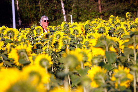 The banks of the river on the northern edge of Helsinki are converted to a golden blaze when some fields are turned over to free, pick-your-own sunflowers in late summer. Photo: Tim Bird