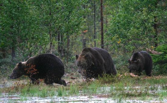 A la caza de los osos: La fotografía está hecha en la mitad norte de Finlandia, cerca de la frontera con Rusia. Foto: Jukka Wuolijoki