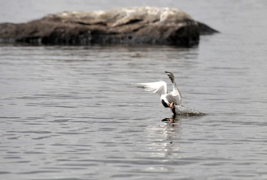 Charrán en plena acción: Esta imagen forma parte de una serie que retrata a un charrán descendiendo en picado, agarrando un pez y sacándolo del mar, fotograma a fotograma. Foto: Jukka Wuolijoki