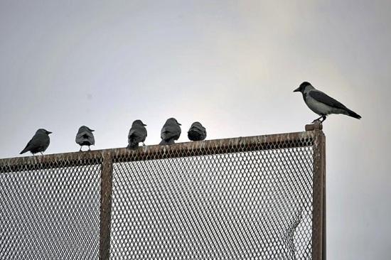 """Ein Krähenlehrer an der Dohlen-Schule: """"Diese Krähe (rechts) unterrichtet eine Klasse von Dohlen. Die Dohle ist ein kleinerer, mit der Krähe verwandter Vogel"""", sagt Wuolijoki. """"Sie lehrt die Dohlen die Sitten der Krähen."""" Foto: Jukka Wuolijoki"""