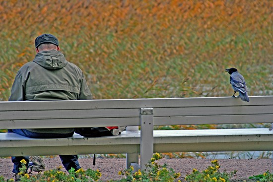 """Die Krähe und ihr Freund: """"In Otaniemi (gleich westlich von Helsinki), steht eine Bank am Meerufer. Jeden Morgen kommt dieser Mann angeradelt, um die Vögel zu füttern. Sobald sie ihn sieht, fliegt diese Krähe, die oben irgendwo in einem Baum gesessen ist, schnurstracks nach unten und setzt sich auf die Bank. Und dann reden sie miteinander in Krähensprache, 'kräh, kräh'"""". Der malerische Hintergrund zeigt herbstliches Schilf am Wasserrand. Foto: Jukka Wuolijoki"""