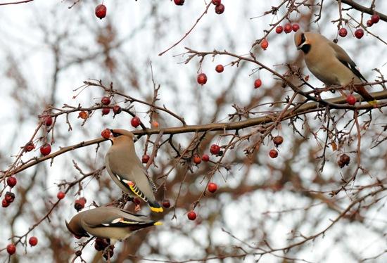Jaseurs boréaux à Katajanokka : « Un matin, j'ai vu un arbuste plein de jaseurs boréaux : comme je n'avais pas mon appareil photo, j'ai été obligé de retourner à cet endroit à la même heure plusieurs semaines de suite avant que les oiseaux y fassent leur réapparition. » Photo: Jukka Wuolijoki