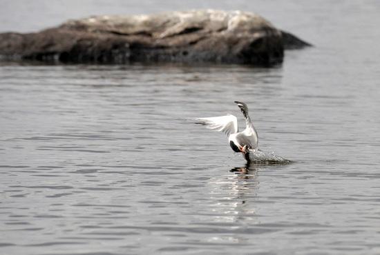 Une sterne déployant ses ailes : cette photo fait partie d'une série où l'on voit une sterne arctique descendre en piqué pour attraper un poisson à la surface de la mer : l'action est décomposée image par image. Photo: Jukka Wuolijoki