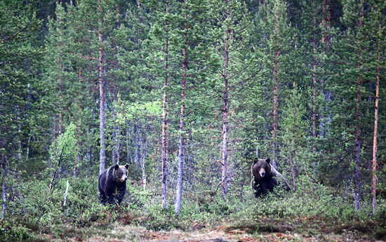 The happy couple: This stretch of forest is within a kilometre of Russian territory and the animals cross freely from country to country – no passport needed. Estimates vary, but there are more than 1,000 Eurasian Brown Bears living along the border region. Photo: Tim Bird