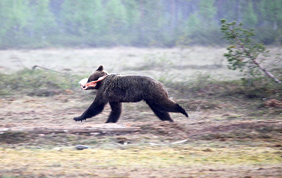Take-away dining: A young male runs off with a fish dinner. Bears must gain more than 150 kilos of weight during the summer to endure the following winter. Photo: Tim Bird