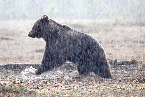 Mud bath: The male bear takes a break from pursuing his intended mate to splash about a bit. Photo: Tim Bird