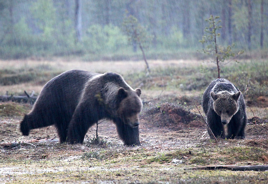 Dancing bear: Perhaps a courtship dance will win her over. Photo: Tim Bird