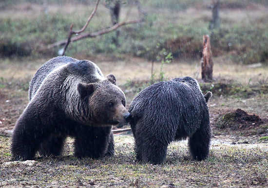 Bears are serially monogamous, staying with the same mate for periods of days to weeks. Photo: Tim Bird