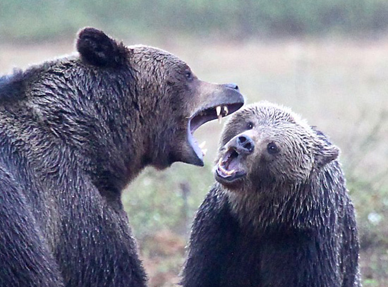 Lover's quarrel: Adult males are aggressive, females less so – unless they are with their cubs. Photo: Tim Bird
