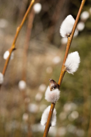 3981-easter_willow-catkins_flickr_cc-by-nc-nd-2_0_villemisaki_550px-jpg