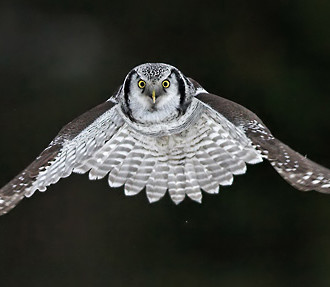 Finnish specialities sought out by birdwatching visitors include hawk owls, with their characteristic mask-like markings.