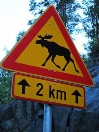 野驼鹿  照片: Fran Weaver 穿越高速公路的驼鹿可能会引起交通事故 • 根据芬兰狩猎和渔业研究所(Finnish Game and Fisheries Research Institute )的调查,2010年末芬兰的驼鹿总数量约为10万头。估计2011年春季约有6万头鹿仔出生。 • 狼和其他野生食肉动物在芬兰很稀少,所以政府通过管制性捕猎来人为限制驼鹿数量。这种做法有助于减少交通事故以及驼鹿在商业化管理的林地里造成的损害。 • 有关部门已经批准了2011年秋季捕猎近6万头驼鹿的许可(驼鹿捕猎季始于9月24日)。 • 芬兰有31万名注册猎人。捕猎驼鹿的约有10万名,他们一般都通过本地捕猎俱乐部结成捕猎小组。