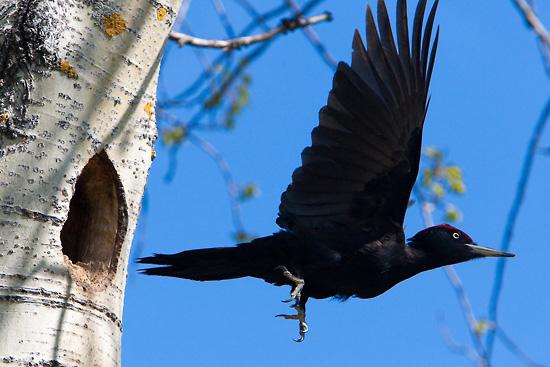 Le rarissime rossignol à flancs roux est l'une des nombreuses espèces exotiques qui attire les touristes ornithologiques à Kuusamo, dans le nord-est de la Finlande.     Photo: Olli Lamminsalo      Le pic noir frappeur est un résident fidèle des forêts finlandaises.