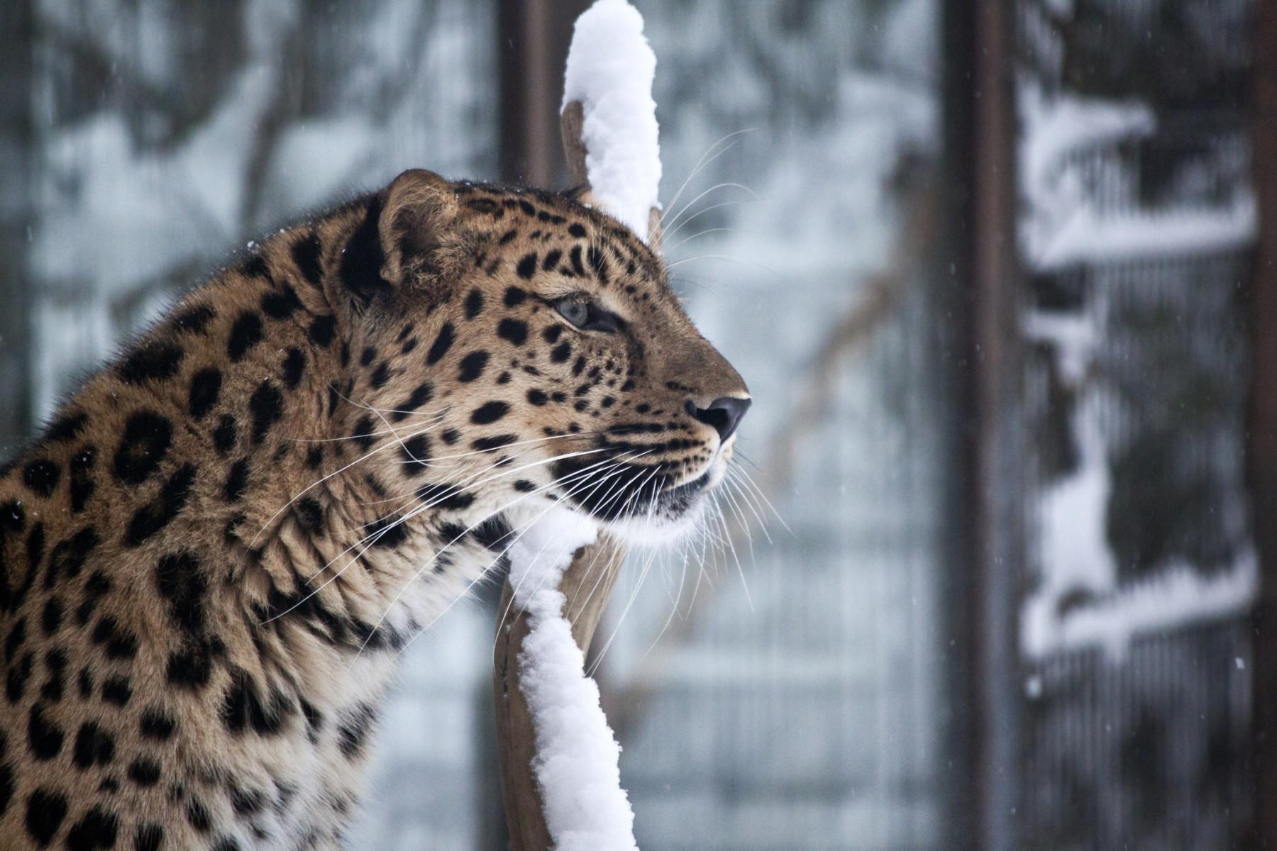 Nur noch 60–80 Amur-Leoparden leben in freier Wildbahn, aber mehr als 20 Junge wurden in Helsinki im Rahmen eines internationalen Arterhaltungsprogramms gezüchtet.
