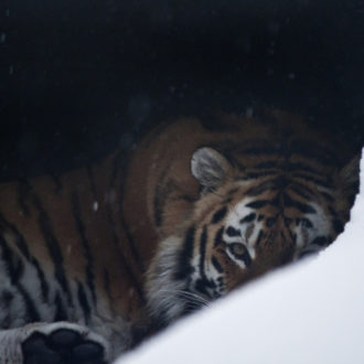 Watching us all with the eye of the tiger: Helsinki Zoo's Amur tigers feel at home even during the snowiest Finnish winters, since they are of a subspecies native to Siberia.