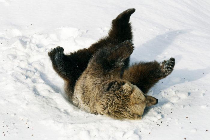 Около 1500 бурых диких медведей бродят в необъятных лесах Финляндии, но Коркеасаари – самое простое и безопасное место для встречи с настоящим финским медведем.