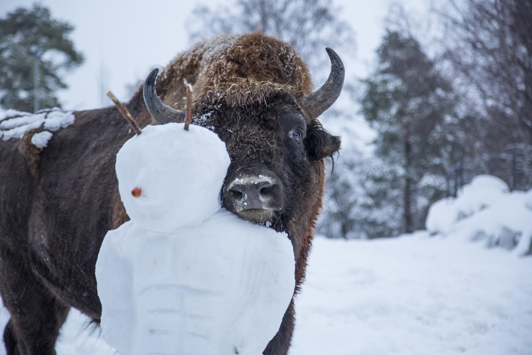 出生在赫尔辛基动物园的欧洲野牛如今已经自由徜徉在俄罗斯的森林里了。不过动物园暂时还没有将那些雪人放归野外的计划。