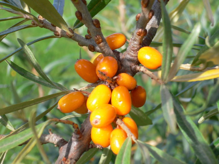 Sea buckthorn grows from north to south, from Kittilä in Lapland to Turku over 800 km away.
