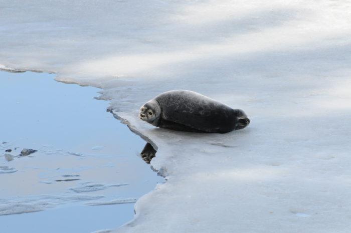 تشكل تغيرات المناخ والوفيات الناتجة عن الصيد أكبر خطر على فقمة سايما الحلقية.