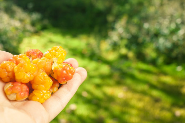 A hand holding a handful of cloudberries.