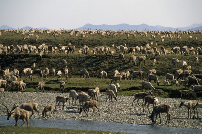 A large herd of caribou on green hills, a small river and a rocky beach up front.