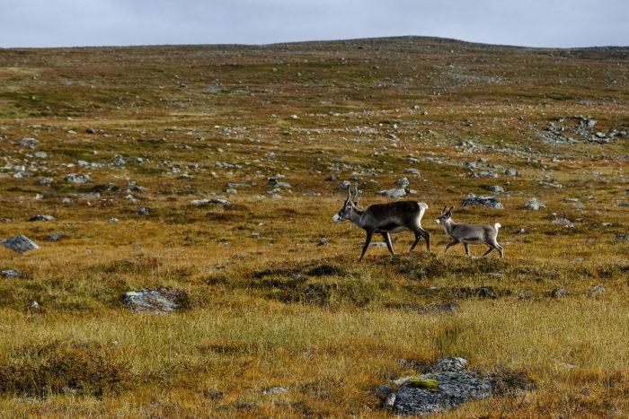 Two reindeer walk across a rocky hillside landscape.