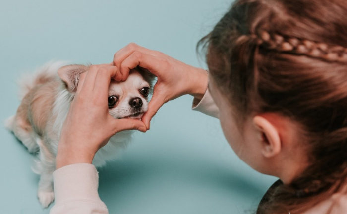 A person makes a heart sign with their hands around the face of a chihuahua sitting on the floor.