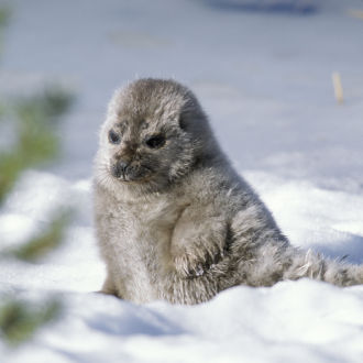 Saimaa ringed seal pup in the snow