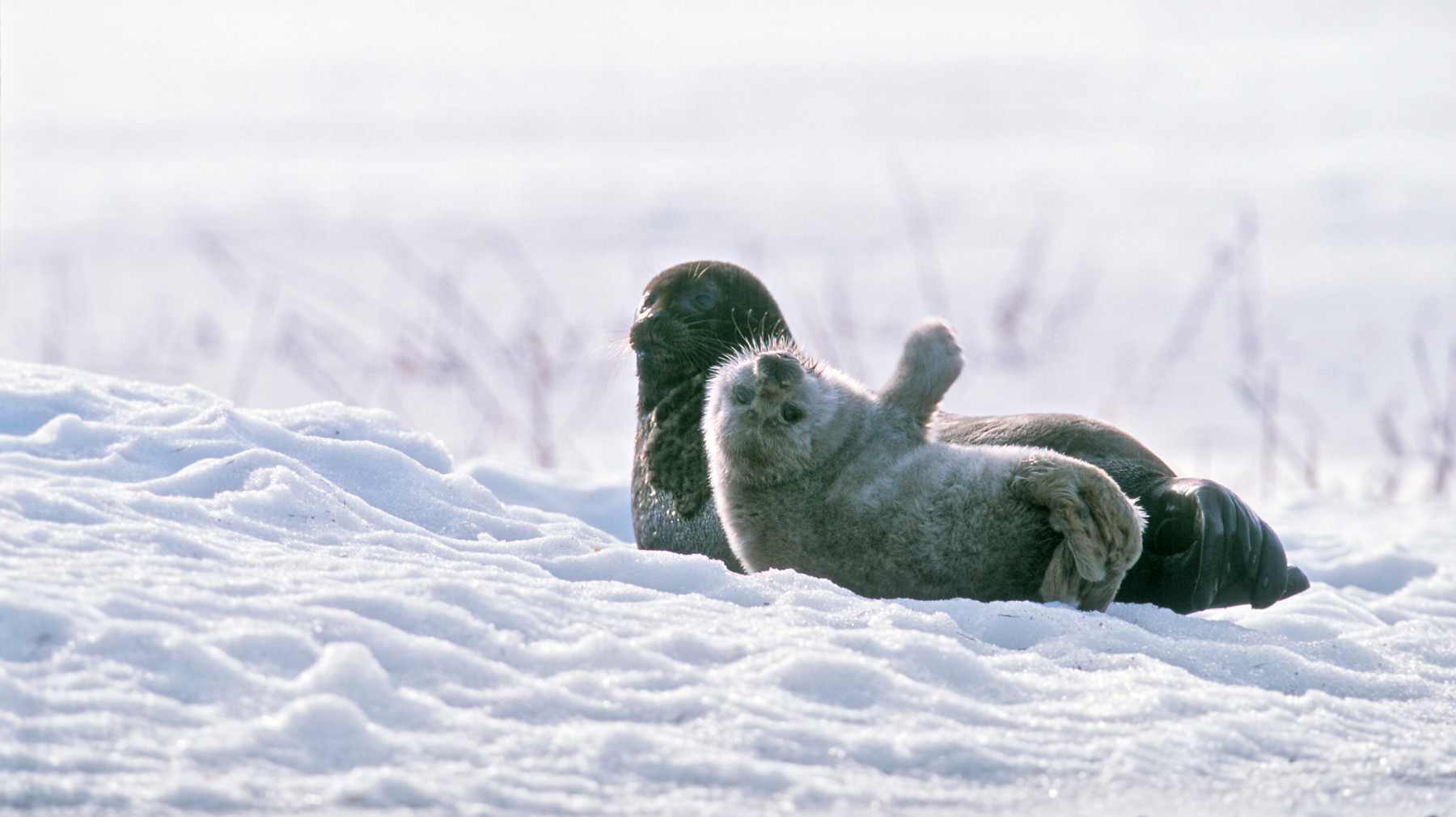 A mother Saimaa ringed seal and her pup lie on the snow-covered ground.