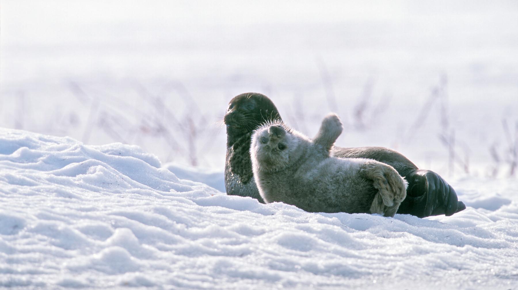 فقمة سايما الحلقية الأم وجروها أثناء التشمس ببعض شمس الشتاء.
