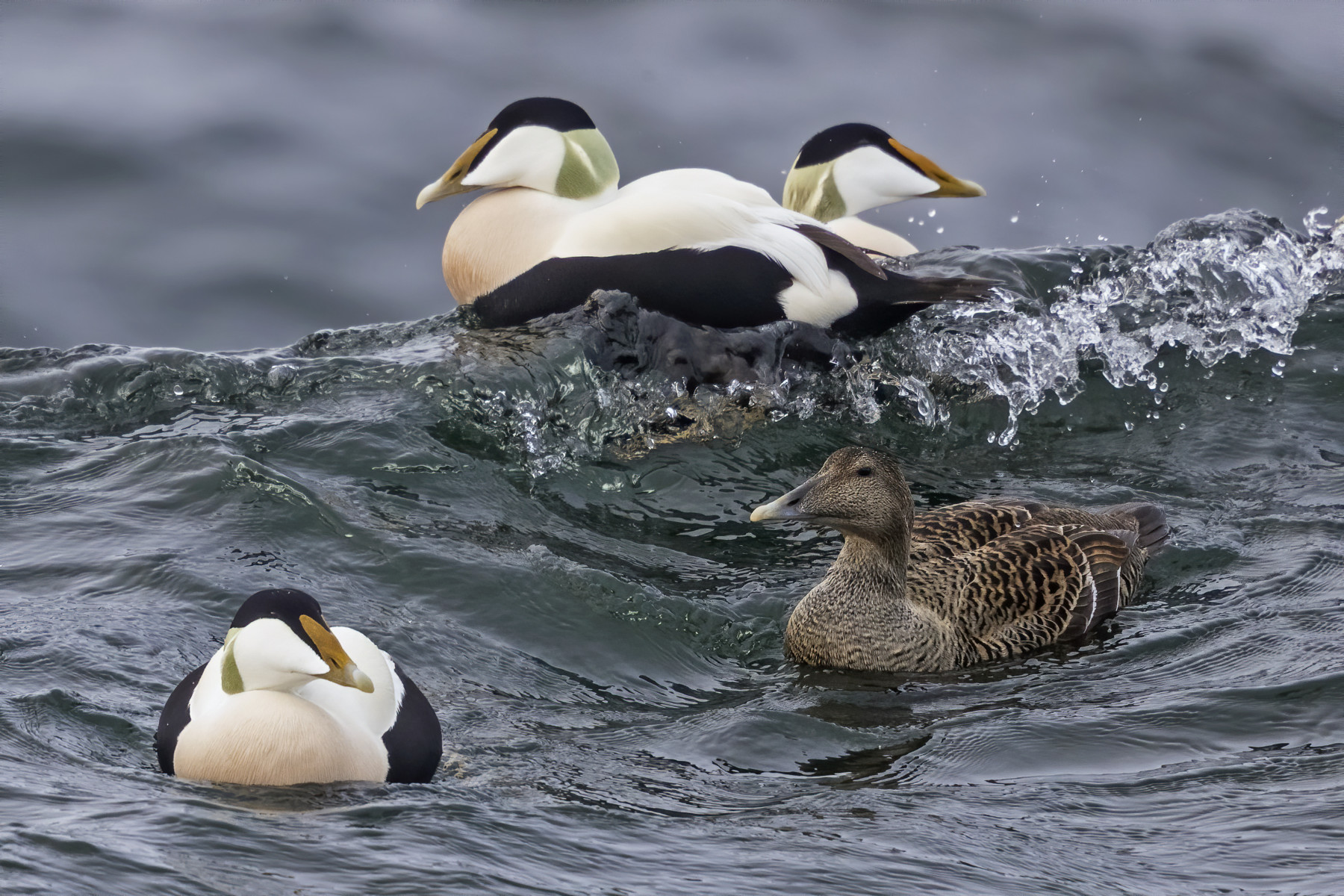 Four duck-like birds float on a wave.