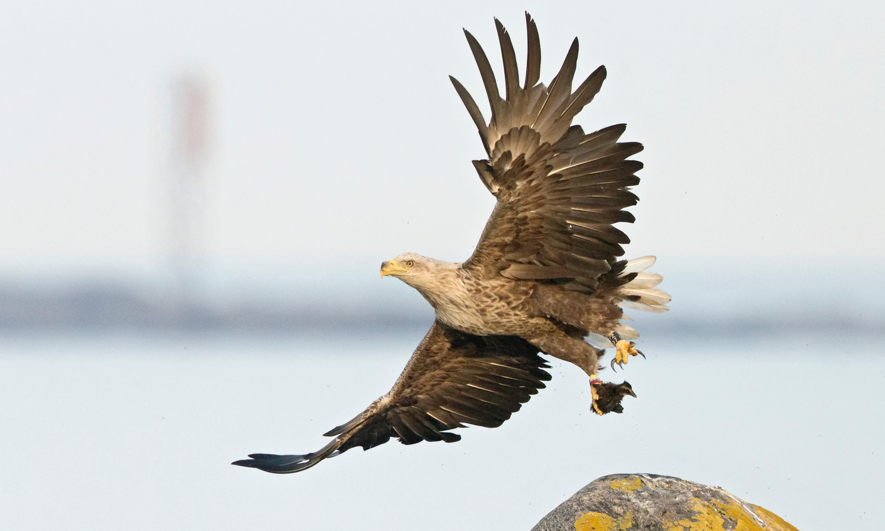 A white-tailed eagle is shown in flight, with wings fully spread.