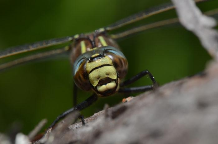 Фронтальный снимок крупным планом большеглазого насекомого.