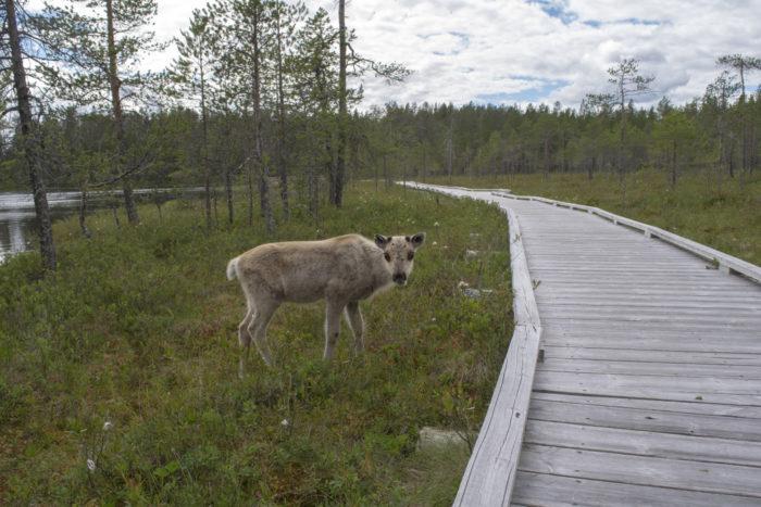 Оленёнок в природном заповеднике смотрит на фотографа.