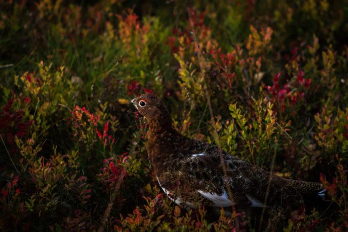 Птица почти невидима среди кустарника с зелеными, красными, коричневыми и оранжевыми листиками.