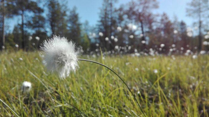 Круглые, пушистые белые цветки поднимаются из травы на поле.