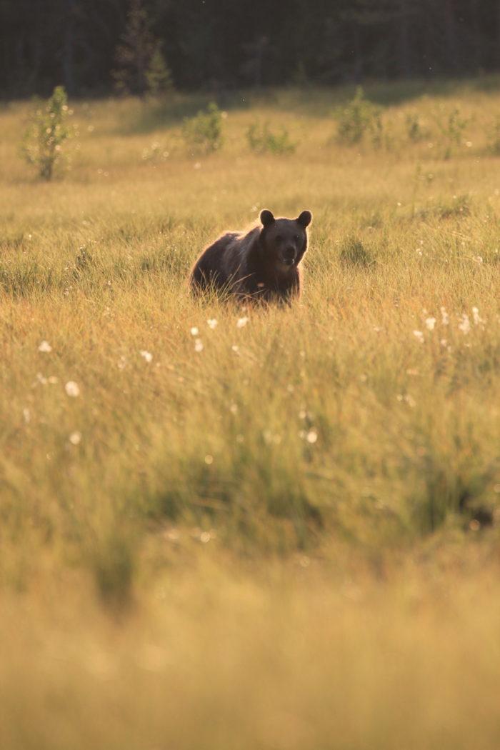 Медведь ходит по полю.
