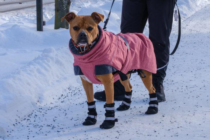 Собака в суконных ботиночках и розовом жакете стоит на заснеженном тротуаре.