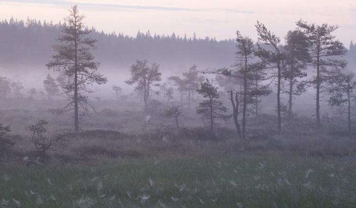 Вечнозелёные деревья, окутанные туманом.