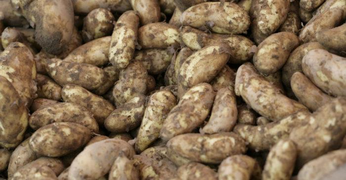 Куча клубней картофеля.