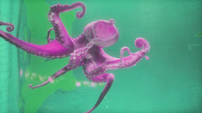 Пурпурный осьминог плавает на зеленом фоне.